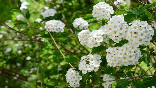 Cover Image for Spirea