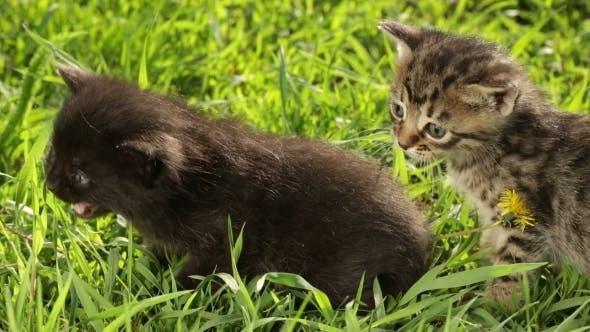 Thumbnail for Little Tabby Kittens  On Green Grass