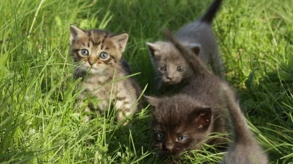 Thumbnail for Little Tabby Kittens  On Green Grass