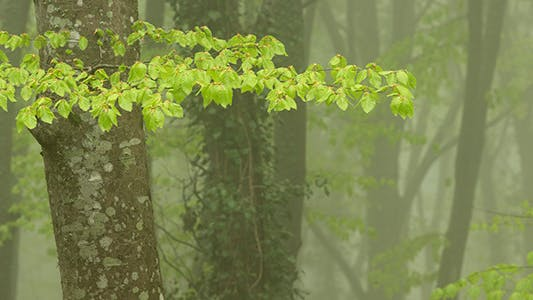 Strong Fog in the Beech Forest