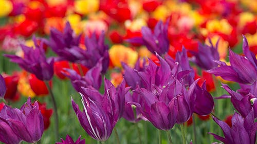 Tulips as Background
