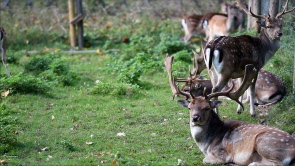 Herd of Wild Deer with Antlers