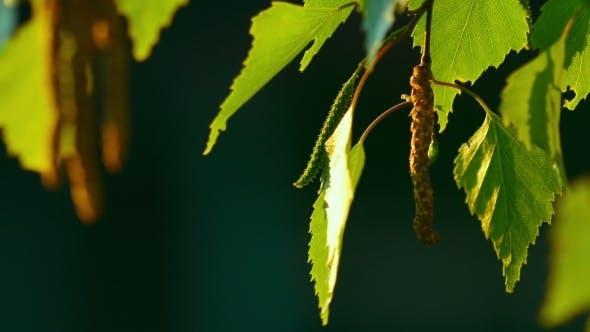 Thumbnail for Birch Catkin