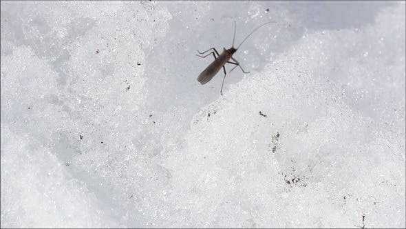 Thumbnail for An Insect is Crawling on the Snow