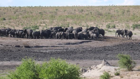 Big herd of African Bush elephants at a waterhole