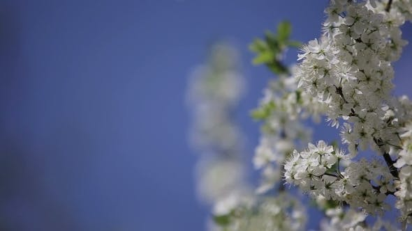 Thumbnail for Branch Cherry Tree Flowering