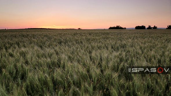 Thumbnail for Field of Wheat at Sunset