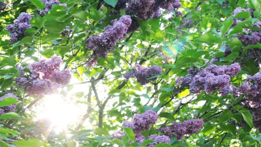 Thumbnail for Lilac Flowers In The Garden 3