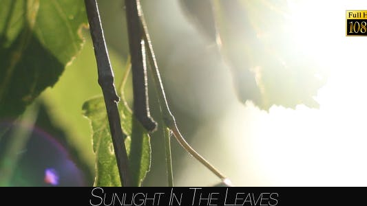 Thumbnail for Sunlight In The Leaves 43