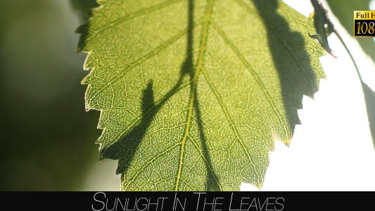 Cover Image for Sunlight In The Leaves 45