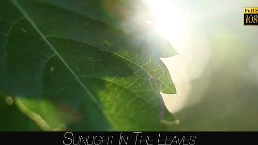 Thumbnail for Sunlight In The Leaves 48