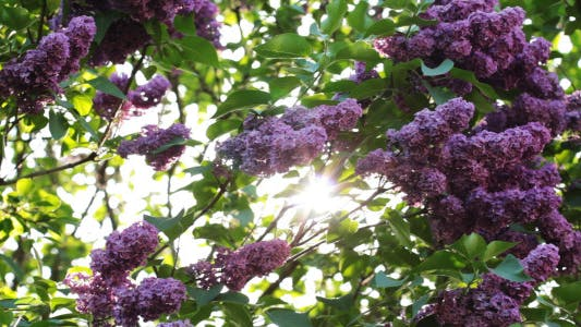 Thumbnail for Lilac Flowers In The Garden 4
