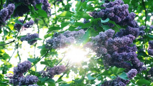 Thumbnail for Lilac Flowers In The Garden 5