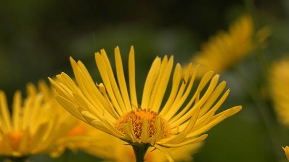 Fleurs jaunes ou Petit Lion