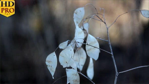 Thumbnail for A Lunaria Annua Annual Honesty Plant with Withered