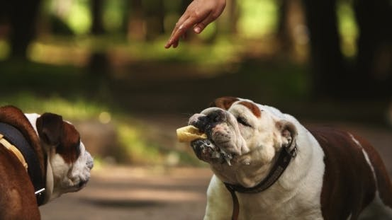 Thumbnail for Cute English Bulldogs With Ice Cream