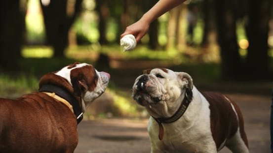 Thumbnail for Cute English Bulldogs With Ice Cream Closer