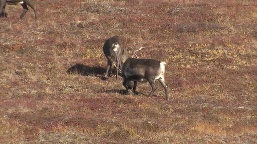 Caribou Herd Many Grazing Feeding Eating in Autumn in Alaska