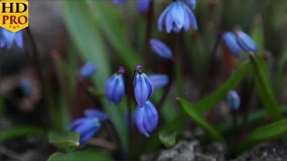 Some Blue Crocus Plant Budding
