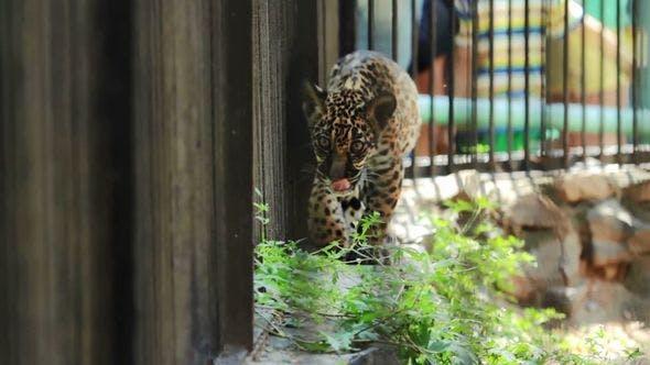 Thumbnail for Jaguar Cub Is Walking Along The Cage