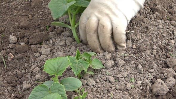 Thumbnail for Vegetable Garden Weeding