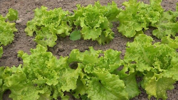 Thumbnail for Lettuce