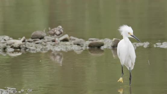 Thumbnail for Snowy Egret Adult Lone Scratching Itching. Rubbing in Costa Rica