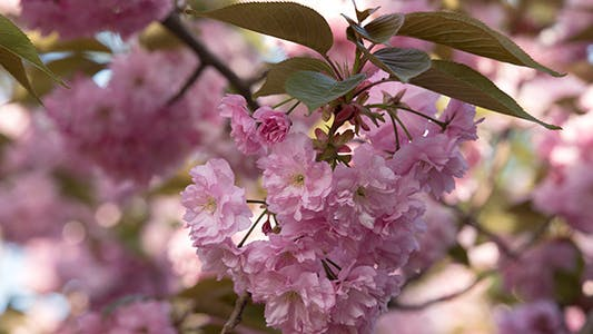 Thumbnail for Blooming Sakura Cherry Tree