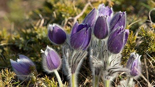 Thumbnail for Bush of Flowers Pasqueflower