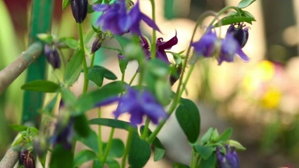 Thumbnail for Aquilegia Flowers
