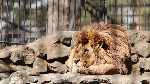 Thumbnail for African Lion Is Resting