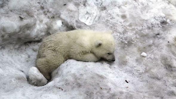 Thumbnail for Sad Little Polar Bear Cub