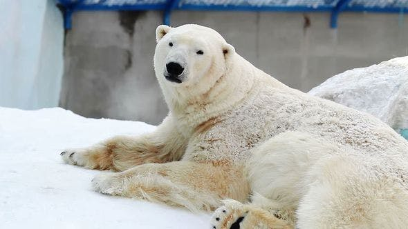Polar Bear Is Resting