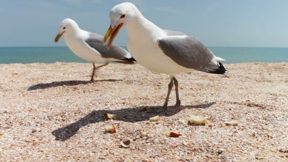 Thumbnail for Gulls On The Beach Flock Together For Food
