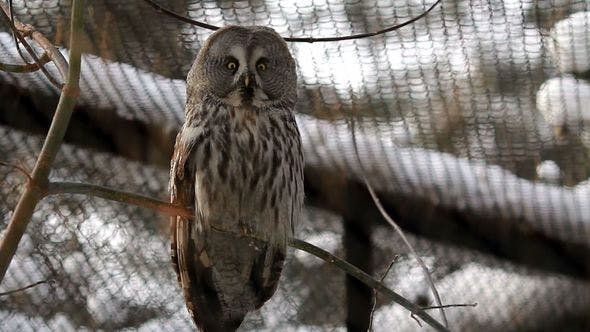 Thumbnail for Portrait Of A Great Grey Owl
