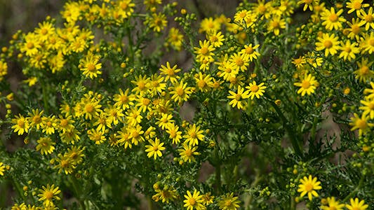 Thumbnail for Yellow Wildflowers in Spring Time