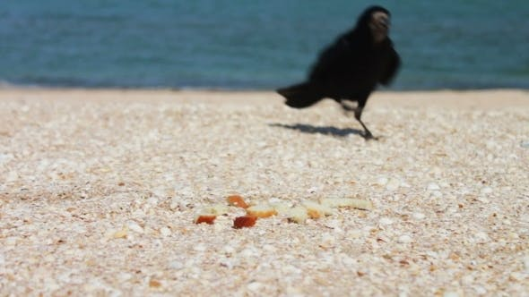 Thumbnail for Crow On The Beach Quickly Takes The Food And Flies