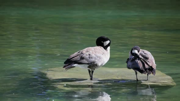 Thumbnail for Canadian Geese