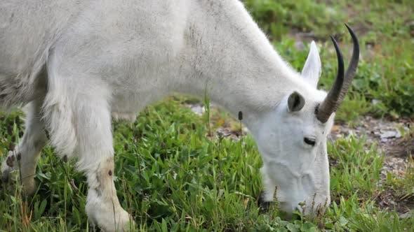 Thumbnail for Mountain Goat