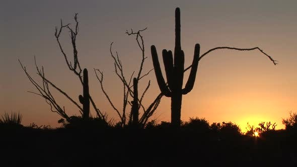 Thumbnail for Ocotillo And Saguaro Cactus At Sunrise