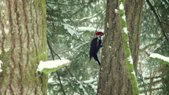 Thumbnail for Woodpecker Pecking On A Tree In Winter