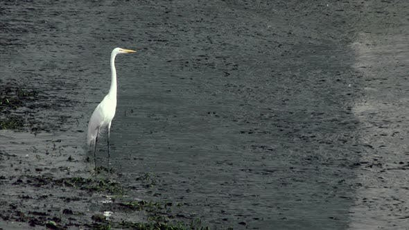 Thumbnail for White Heron Standing In Shallow Water