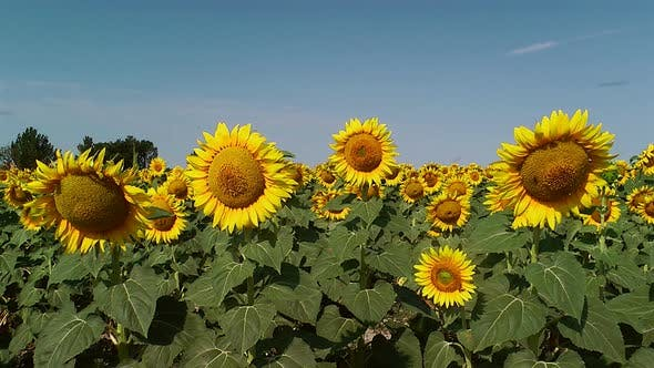 Thumbnail for Field Of Sunflowers 1