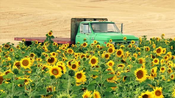 Thumbnail for Farm Truck And Field Of Sunflowers