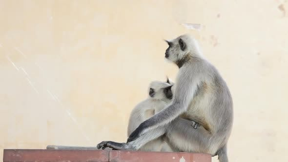 Thumbnail for Gray Langur Monkey Holding Infant
