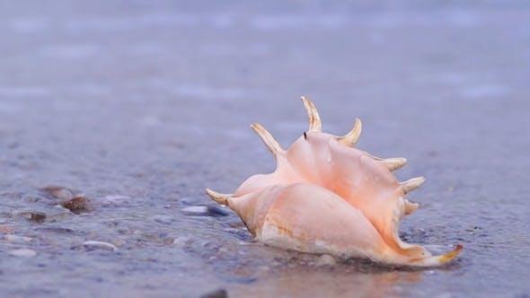 Thumbnail for Seashell on the Beach