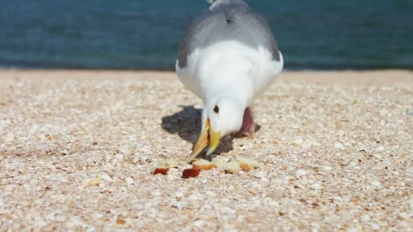 Thumbnail for One-legged Gull Eats Bread, Food On The Beach