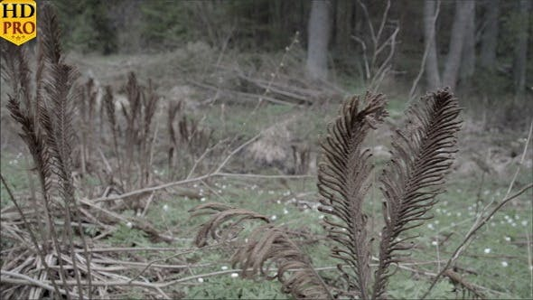 Thumbnail for Couple of Old Ferns on the Forest