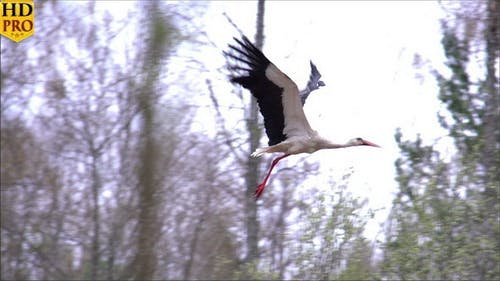 A White Stork Spreading its Wings