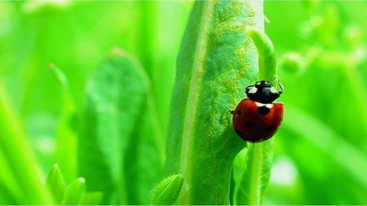 Thumbnail for Ladybug 2